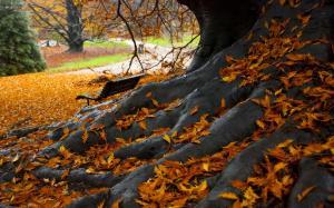 Корни огромного дуба в желтых листях