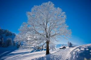 дерево покрыто инеем и снегом