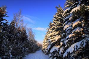 зеленые елки покрыты снегом
