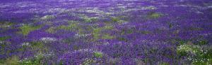 поле фиолетовых цветов