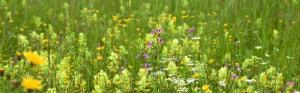 красивые луговые цветы