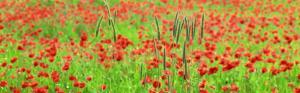 колоски пшеницы среди красных маков