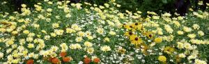 Белые и желтые ромашки