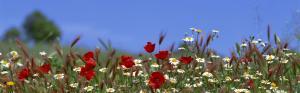 Колоски ржи,маки и ромашки на фоне неба