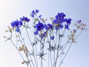 Куст синих цветочков