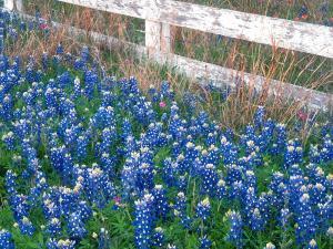 Синие цветы в траве
