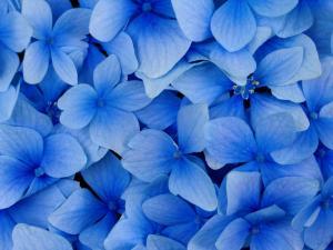 Фон бело-синих лепестков