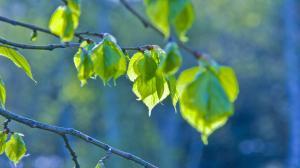 первые зеленые листочки