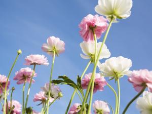 Красивые бледно розовые цветы
