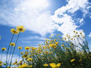 Полевые желтые цветочки