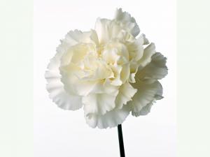 Белый цветок астры