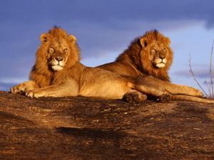 львы на отдыхе