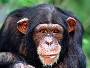 Волосатая обезьяна