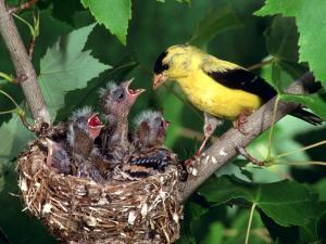 Иволга(желтая птица) кормит птенцов