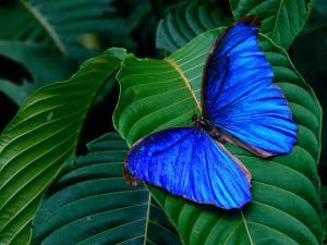 Блестящая синяя бабочка на листе