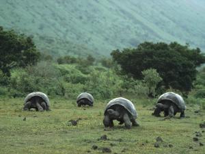 Большие черепахи ползут