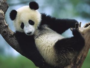 Медведь Панда на ветке