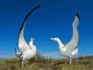 белый альбатрос