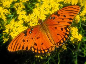 Красивая бабочка залива авриния